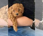 Small Photo #1 Cavapoo Puppy For Sale in MILLCREEK, UT, USA