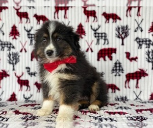 Australian Shepherd Puppy for sale in LANCASTER, PA, USA