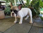 French Bulldog Puppy For Sale in LEAGUE CITY, TX