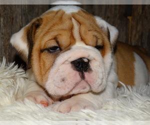 English Bulldog Puppy for sale in VERONA, MO, USA