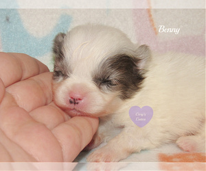 Pomeranian Puppy for sale in ELKLAND, MO, USA