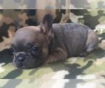 Small #20 French Bulldog
