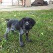 German Wirehaired Pointer Puppy For Sale in SACRAMENTO, CA