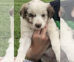 ABCA Blue Red Merle and Black white puppies