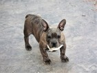 American Pit Bull Terrier Puppy For Sale in COLORADO SPRINGS, CO, USA