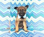 Malinois Puppy For Sale in LANCASTER, PA, USA