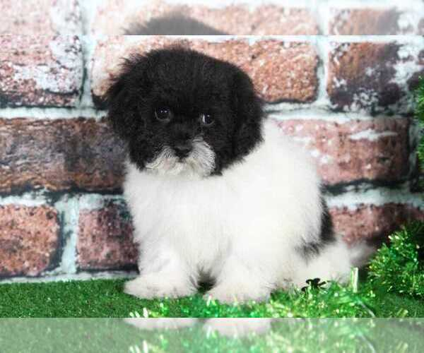 Medium Photo #1 Shih-Poo Puppy For Sale in BEL AIR, MD, USA