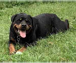 Rottweiler Dog for Adoption in BUFFALO, New York USA