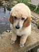 Poodle (Standard) Puppy For Sale in MINERVA, OH,