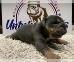 Puppy 7 Bulldog