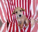 Puppy 2 Jack-A-Poo