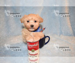 Small #4 Maltipoo-Poodle (Toy) Mix