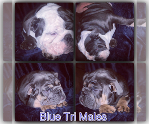 English Bulldog Puppy for sale in CARTHAGE, MO, USA