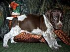 AKC German Shorthaired Pointer Puppy Gunther