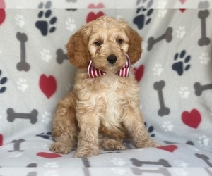 Cocker Spaniel-Poodle (Miniature) Mix Dog for Adoption in LAKELAND, Florida USA