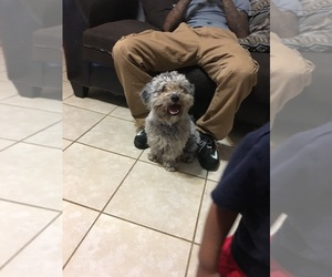 Shih-Poo Puppy for sale in DAYTON, OH, USA