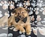 Small #5 Shetland Sheepdog Mix