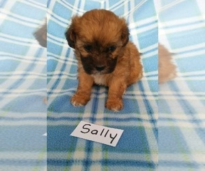 Poo-Shi Puppy for sale in CLARKRANGE, TN, USA