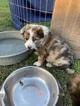 Border-Aussie Puppy For Sale in DEL VALLE, TX, USA
