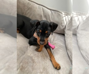 Miniature Pinscher Dog for Adoption in CHATHAM, Virginia USA