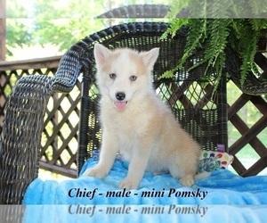 Pomsky Puppy for sale in CLARKRANGE, TN, USA