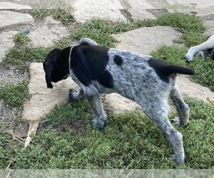 German Shorthaired Pointer Puppy for sale in HARVEY, IA, USA