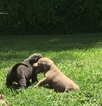 Labrador Retriever Puppy For Sale in GLASGOW, KY, USA