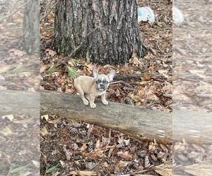 French Bulldog Puppy for sale in DUNBARTON, NH, USA