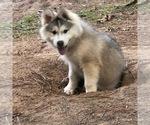 Small Photo #6 Wolf Hybrid Puppy For Sale in FILLMORE, LA, USA
