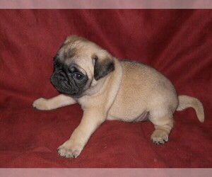Pug Puppies for Sale in Montana, USA, Page 1 (10 per page