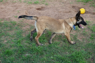 Belgian Malinois Puppy For Sale in NOBLE, OK