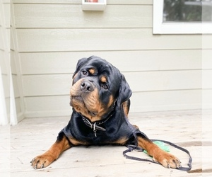 Rottweiler Puppy for sale in CO SPGS, CO, USA