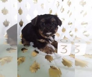 Shorkie Tzu Puppy for Sale in SCOTTVILLE, Michigan USA