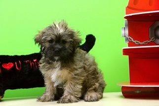 Shorkie Tzu Puppy For Sale in PORTSMOUTH, OH