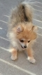 Pomeranian Puppy For Sale in OXFORD, WI, USA