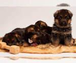 Small #18 German Shepherd Dog