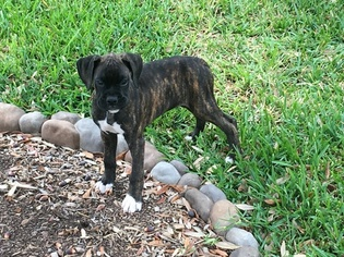 Male AKC Boxer for Sale