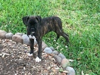 Boxer Puppy For Sale in SEGUIN, TX