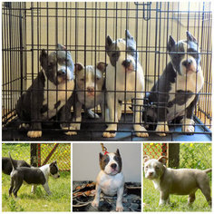 Bullypit Puppy for sale in MODESTO, CA, USA