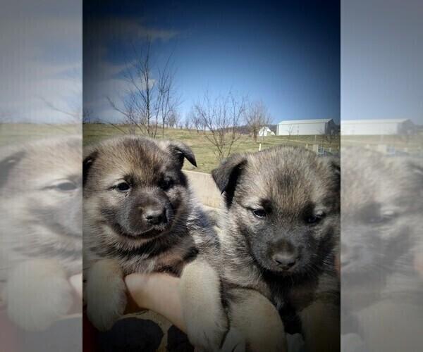 Medium Photo #1 Norwegian Elkhound Puppy For Sale in CHATFIELD, MN, USA