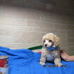 Poodle (Toy) Puppy For Sale in ELBERFELD, IN, USA