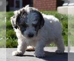 Small Aussiedoodle-Poodle (Miniature) Mix