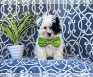 Maltipoo Dog for Adoption in LAKELAND, Florida USA
