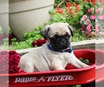 Small Photo #2 Pug Puppy For Sale in CHARLOTT HALL, MD, USA