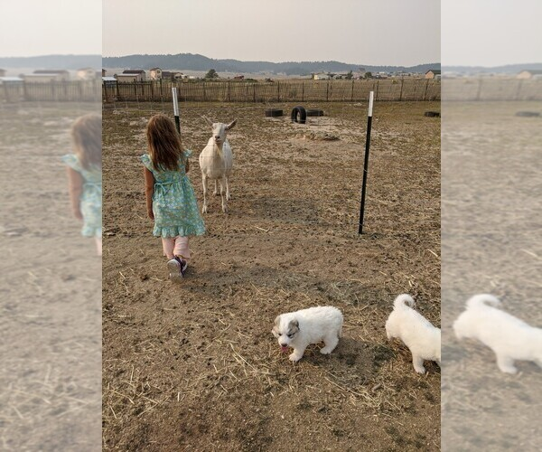 Medium Photo #111 Great Pyrenees Puppy For Sale in FALCON, CO, USA
