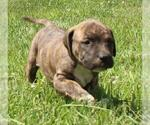 Small #13 American Pit Bull Terrier Mix