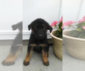 German Shepherd Dog Puppy for sale in S BEND, IN, USA