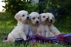 Golden Retriever Puppy For Sale in WAYNESBORO, GA