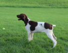 German Shorthaired Pointer Puppy For Sale in SUGARCREEK, Ohio,