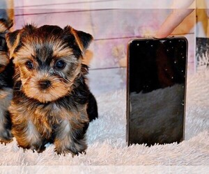 Yorkshire Terrier Dog for Adoption in HOLLYWOOD, Florida USA